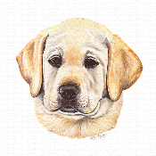 Yellow Labrador Puppy Portrait