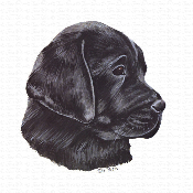 Black Labrador Puppy Portrait