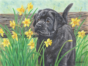 Black Lab Puppy & Daffodils